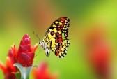 10371641-belle-nectar-potable-de-papillon-de-fleur